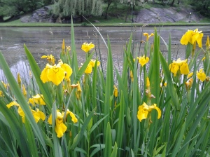 On the Bright Side: immigrant Yellow Flag (Iris pseudacorus) lines the bank of Harlem Meer. (photo taken 05 24 2013)