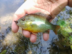 This French Creek redbreast sunfish added to the surrounding symphony of green and orange color. (photo taken 05 2013)