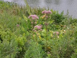 Joe-Pye Weed graces the banks of Harlem Meer. (photo taken 08 07 2013)