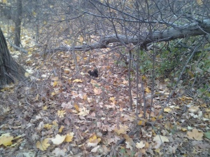 Black Squirrel beside the Old Putnam Trail. (photo taken 11 21 2013)