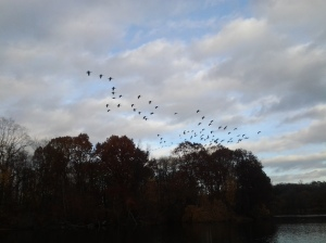 Geese descending onto Van Cortland Lake. (photo taken 11 21 2013)