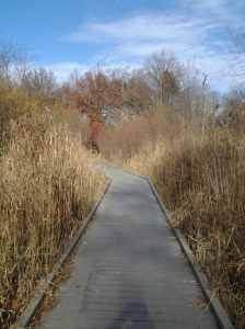 Wetland path surrounded by fallow reeds. (photo taken 11 21 2013)