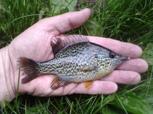 Pumpkinseed Sunfish, Lepomis gibbosus. (Photo taken 05 29 2014)