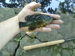 Green Sunfish along a New Jersey road. (photo taken 07 10 2014)