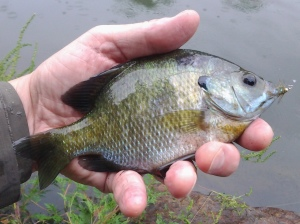 August in NYC 2: Bluegill Female (photo taken 08 2014)