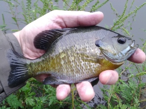August in NYC 1:  Bluegill Male (photo taken 08 2014)