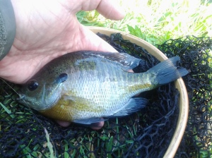 A net facilitates the unhooking of an autumn bright bluegill. (photo taken 09 16 2014)
