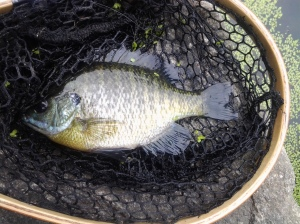 Aggressive Female Bluegill (06 2015)