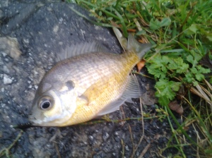 Bluegill in November (NYC 11 2016)